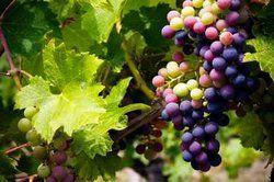 Weintrauben lassen sich durch Stecklinge vermehren.