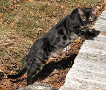 Black Bengal Cats | charcoal brown bengal cat charcoal bengal cats charcoals i would get one of these for sure!