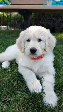 Litter of 7 Pyredoodle puppies for sale in EMPIRE, CO. ADN