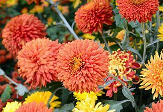 Chrysanthemums Repel roaches, ants, Japanese beetles, ticks, silverfish, lice, fleas, bedbugs, spider mites, harlequin bugs androot-knot nematodes. The ingredient in chrysanthemums that makes them so effective as an insect-repelling companion plant ispyrethrum. Read more:http://www.mnn.com/your-home/organic-farming-gardening/stories/12-plants-that-repel-unwanted-insects#ixzz3G029OPFM