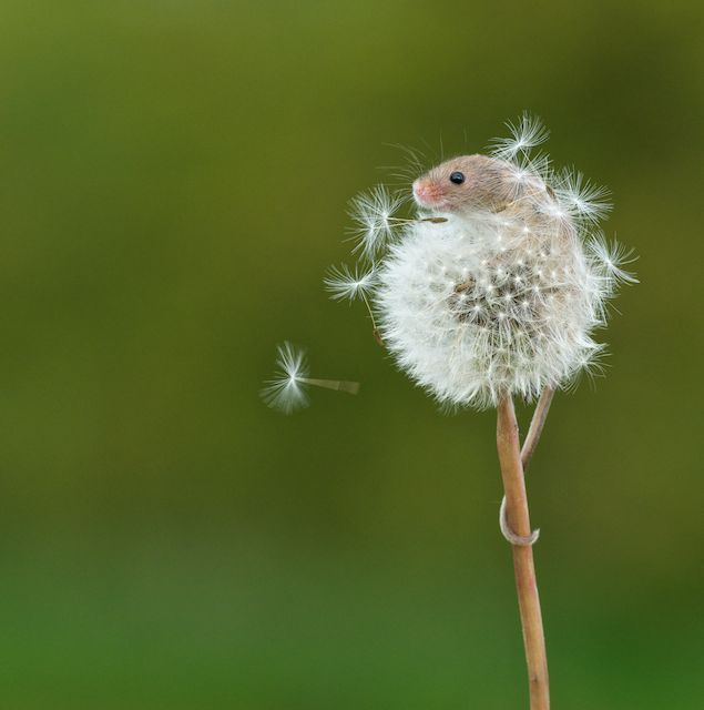 まるでファンタジーの世界!タンポポの綿毛に乗った野ネズミ