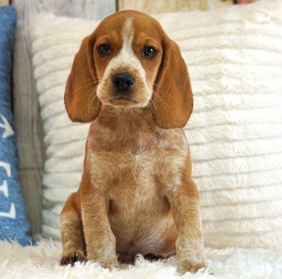 Copper Beagle Puppy 593275 Puppyspot Beagle Puppy Puppies For