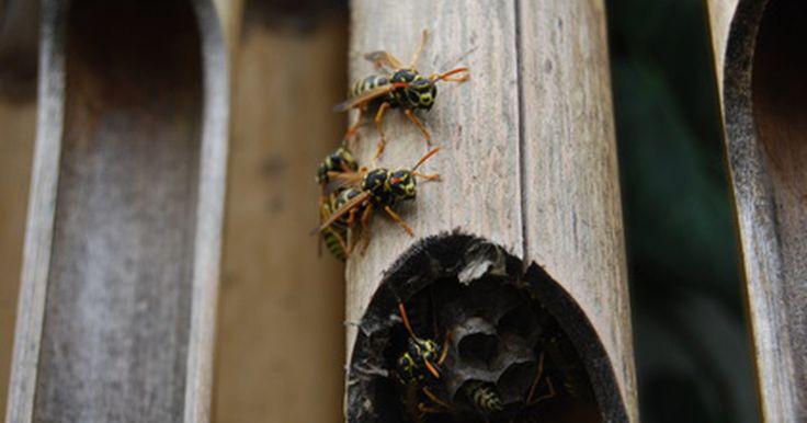 O comportamento das vespas. As vespas são um tipo de inseto na família Hymenoptera, juntamente com as abelhas. Existem muitas espécies diferentes de vespas, e cada uma tem seu próprio comportamento distinto. As principais famílias de vespas incluem a Polistes dominula, Ancistrocerus Species, Ammophila sabulosa, vespa-cavadora, Vespula squamosa e marimbondo. Embora cada tipo ...