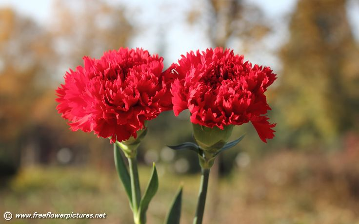 carnation | Carnation pictures,Carnation flower pictures