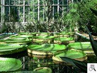 SERRES (Victoria cruziana)    Onder tropische en subtropische planten in de kas koningin van waterplanten, het enorme equatoriale waterlelie, wier zaden aangekomen bij Villa Taranto in 1956 uit de botanische tuin in Stockholm.