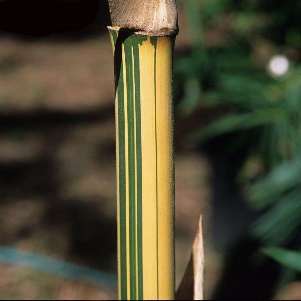 Uniquement les 25 meilleures id es de la cat gorie haie bambou sur pinterest jardiniere pour - Bambou en jardiniere ...