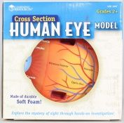 Cross-section Eye Model - Learning Resources