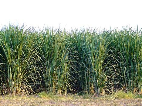 Sugar cane.  Grew across the street when I grew up in Franklin, LA.