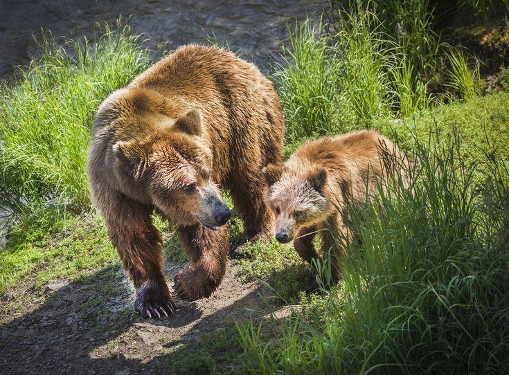 grisáceo, oso pardo, fotos grisáceo, oso marrón, marrón fotos del oso, cachorro de oso, oso fotos cachorro, cachorro del grisáceo, cachorro de oso pardo, el Parque Nacional de Katmai, la vida silvestre de Alaska, osos de Alaska, caídas de los arroyos, fauna Brooks Falls, caídas de los arroyos osos