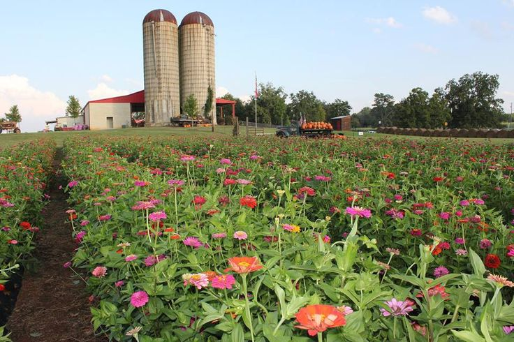 3 GA Farms to visit - pick berries, etc. Southern Belle Farm in McDonough, Georgia