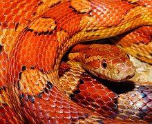 Schlange, Kornnatter, Reptil, Schuppen
