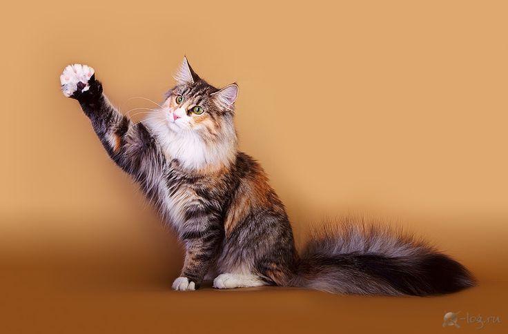 питомник норвежская лесная кошка