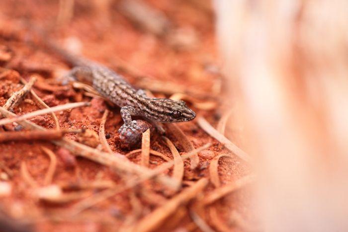 Native Gekko Cue Western Australia