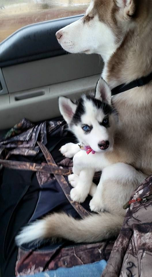 Siberian Husky Hug Cute Bit Of Fluff Pinterest