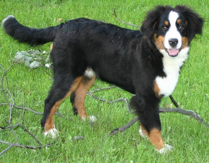 beutiful bernese mountain dog puppy