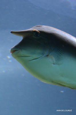 Unicorn Surgeonfish, Naso Unicornis, Summer 2013, ZSL London Zoo, London, England, United Kingdom.