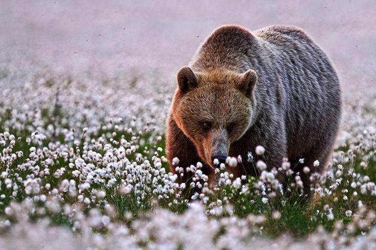 Photographie _ Ours brun et sa fleur_ Rose, lilas, jasmin, clématite, glycine... Les fleurs ont un doux parfum très agréable pour l'odorat, et pas seulement pour les abeilles ! Les animaux aussi prennent plaisir à approcher leurs museaux de ces plantes aux fragrances délicates pourles renifler...