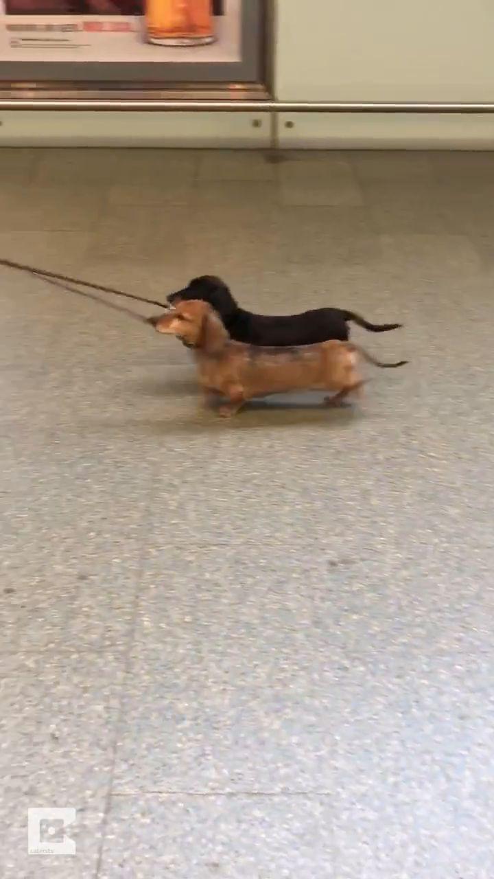 Dos pequeños perros salchicha un negro y un marrón muy lindo ……………. #deu …   – Tiere