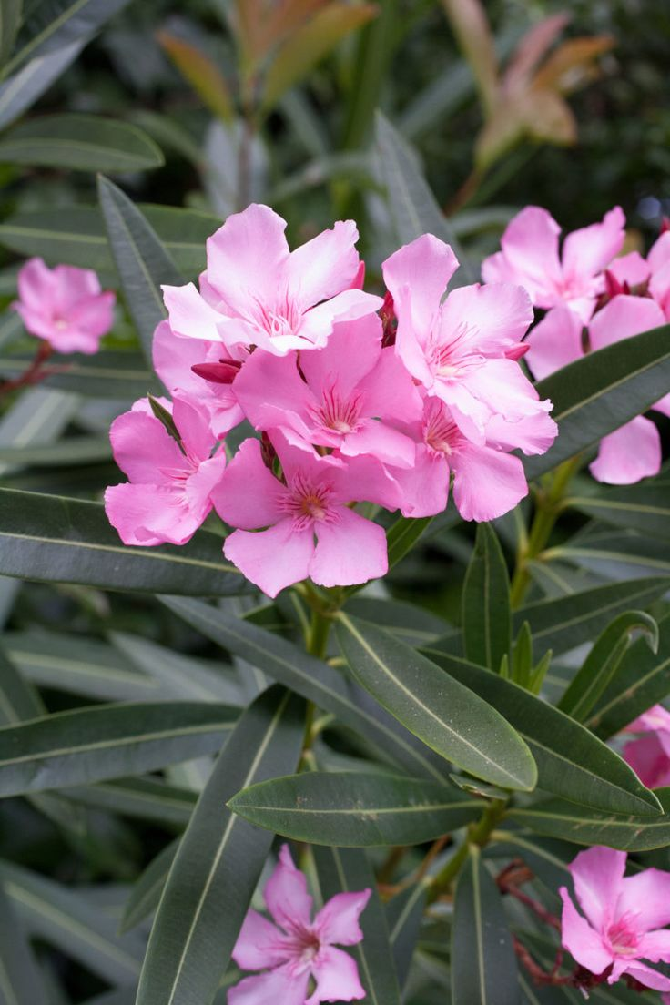 Oleander Pflege Browse Oleander Images And Ideas On Pinterest