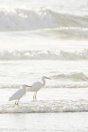 Snowy Egret. Karol Franks. Seldom see pics of these birds on a beach. Lovely soft white on white shot.
