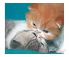 Mitacats Cattery #ayopromosi