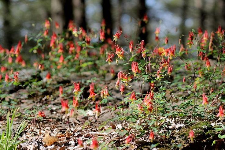 23 best west virginia wildflowers images on pinterest