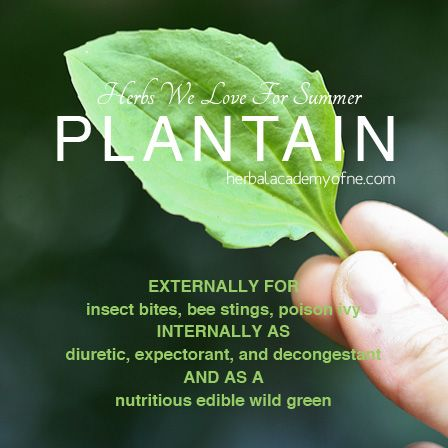 Plantain: Herbs We Love For Summer!  externally for insect bites, bee stings, poison ivy internally as diuretic, expectorant, and decongestant as a nutritious edible wild green