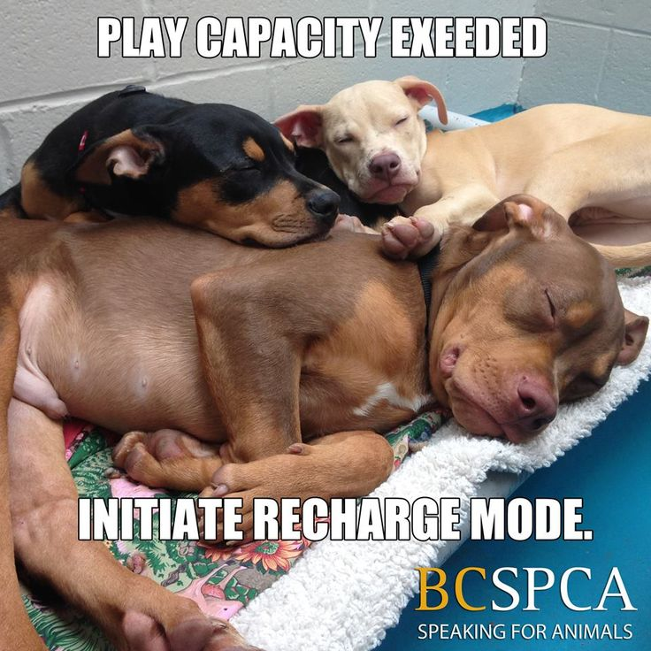 Anyone who has ever had a puppy knows that they play hard and sleep hard! Grace (black) and Samantha (blond) are still waiting for forever homes at the BC SPCA Vancouver Branch. Find out more at spca.bc.ca/adopt