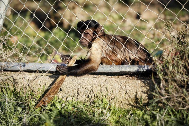 El mono capuchino 'Epi', de 7 años, es uno de los pocos ejemplares nacidos en Rainfer. Normalmente los machos son vasectomizados, pero en el caso de su padre, 'Brutus', se le procuró una pareja con la que criar para que formase su propia familia, ya que no fue posible integrarlo en otro grupo pues era un animal muy agresivo y con conductas anormales. Los capuchinos son animales muy sociales, que necesitan vivir en grupos estables y grandes.