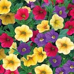 Callibrachoa Mini Petunia Plants