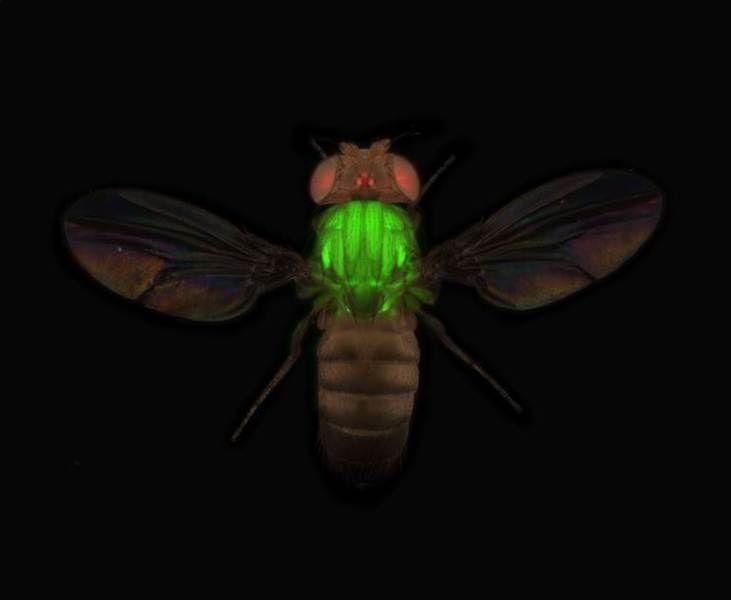 """Forscher machen über 10.000 Fliegenproteine sichtbar: Für gewöhnlich leuchtet eine Fliege natürlich nicht grün. Hier haben Forscher mit genetischen Tricks ein Muskelprotein zum Leuchten gebracht, das sie anschließend unter einem Fluoreszenzmikroskop lokalisieren können.<br><A HREF=""""http://www.mpg.de/10353961/fliegen-transgenom-proteine"""" target=""""_blank"""">Hier gehts zur Originalmeldung</A>"""