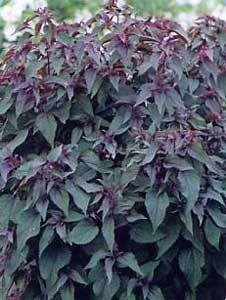 Eupatorium rubrum Joe Pye Black Chocolate--light shade or full sun