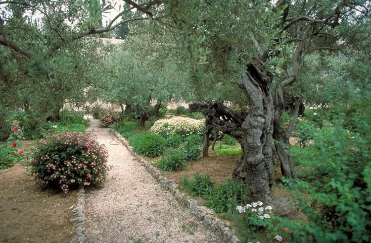 The Garden of Gethsemane - at the foot of Mount of Olives, Jerusalem.