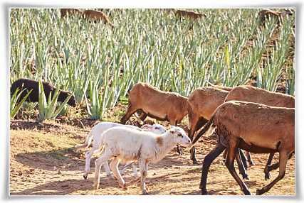Natural pest control and natural fertilizers provision from sheep and goats in Forever Living's Aloe Vera plantations #StabilizedAloeVera #AloeVera #ForeverLivingProducts