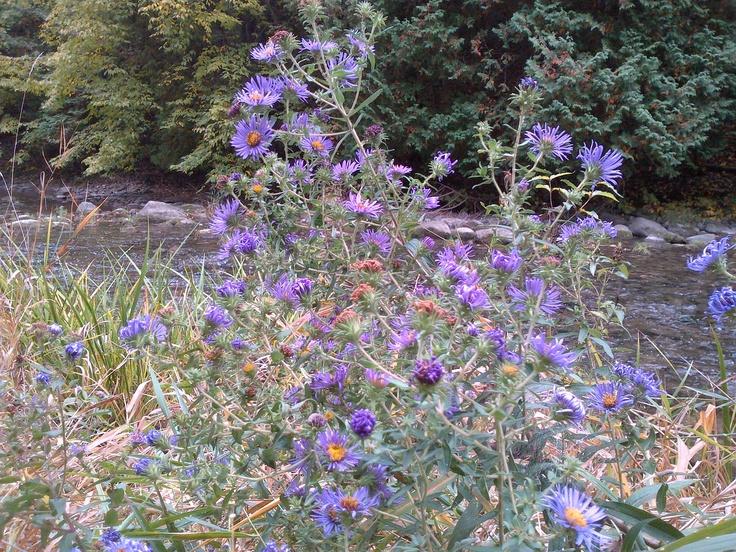 Wild purple asters growing next to Percy Creek in Warkworth.