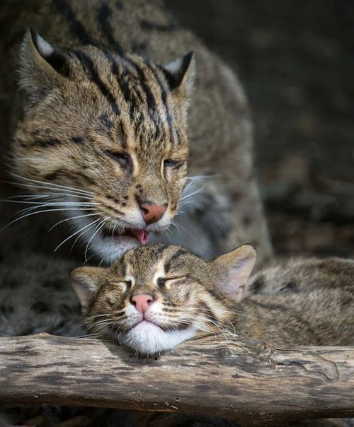 Fishing cat mother and kitten. The fishing cat is a medium-sized wild cat of South and Southeast Asia. It is an endangered species; over the last decade, the fishing cat population throughout much of its Asian range declined severely. Like its closest relative, the leopard cat, the fishing cat lives along rivers, streams and mangrove swamps. It is well adapted to this habitat, being an eager and skilled swimmer.