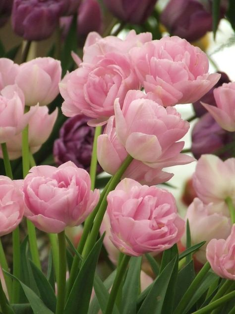 Double Pink Tulips - Flowers Garden Love - normally I am not a big tulip fan but these are beautiful!