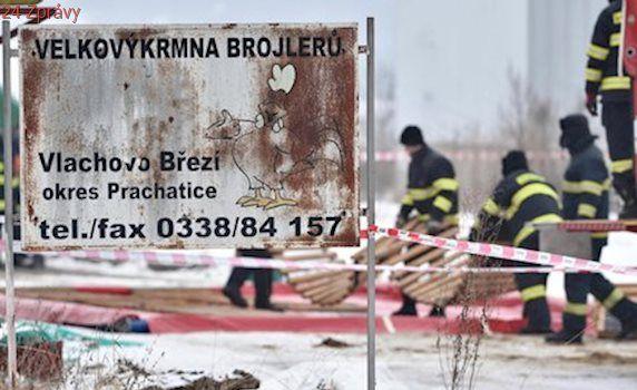 Veterináři utratili 17 tisíc kachen na jihu Čech. Kvůli ptačí chřipce