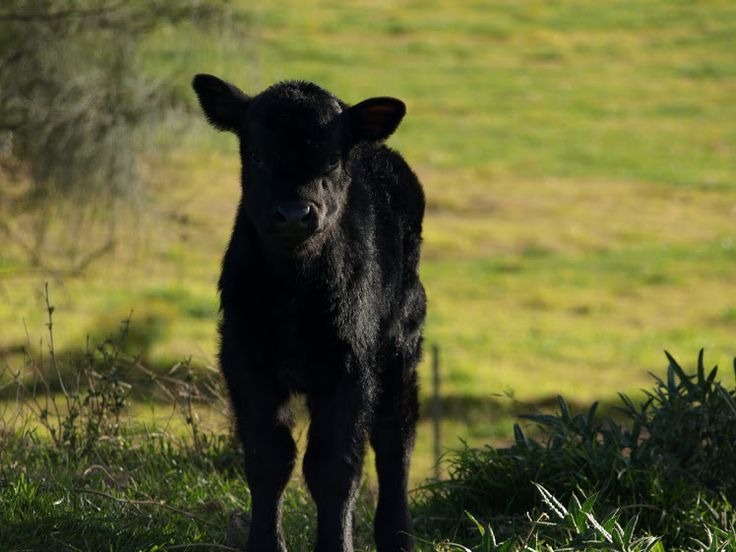 The Little Black Cow Blog