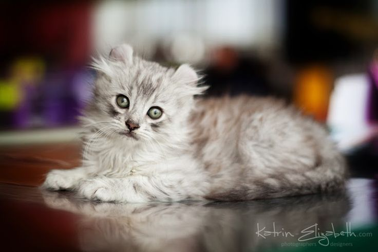 American Curl Russia 85 best images ...