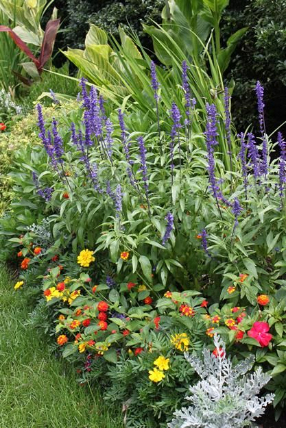 Blue salvia varieties i plant blue salvia mealycup sage for Annual garden designs