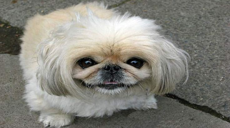 El pekinés o pequinés es una antigua raza de compañía originaria de Pekín, China. Aparte del aspecto atractivo de la raza, el Pekinés es un perro pequeño y