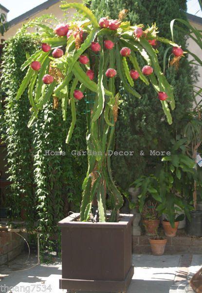 Cactus Le Pitaya Fruit Du Dragon Interesting Backyards Plants