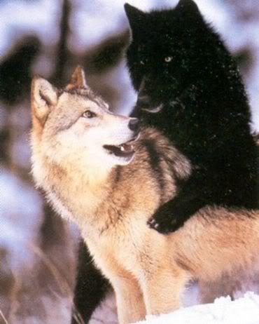 Timber Wolf  http://www.pinterest.com/jnash717/wolves/