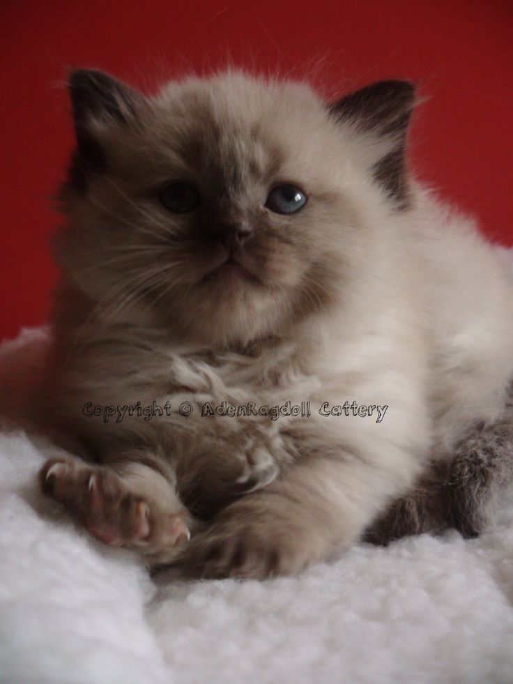 Rare Chocolate Mink ragdoll kitten only from Aden Ragdoll Cattery