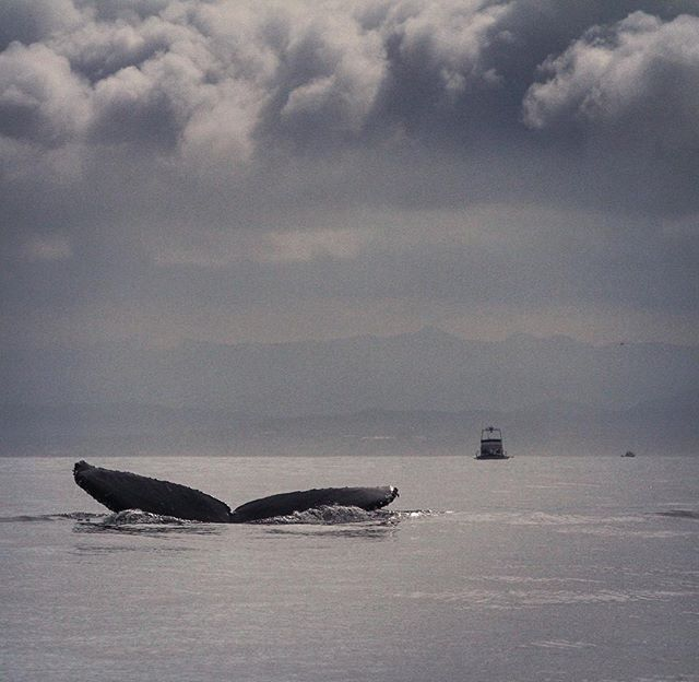Monterey Bay: your springtime brings all the whales to the yard.  Humpback whale(tail) (Megaptera novaeangliae). #montereybaylocals - posted by Sharon https://www.instagram.com/sha.hsu - See more of Monterey Bay at http://montereybaylocals.com