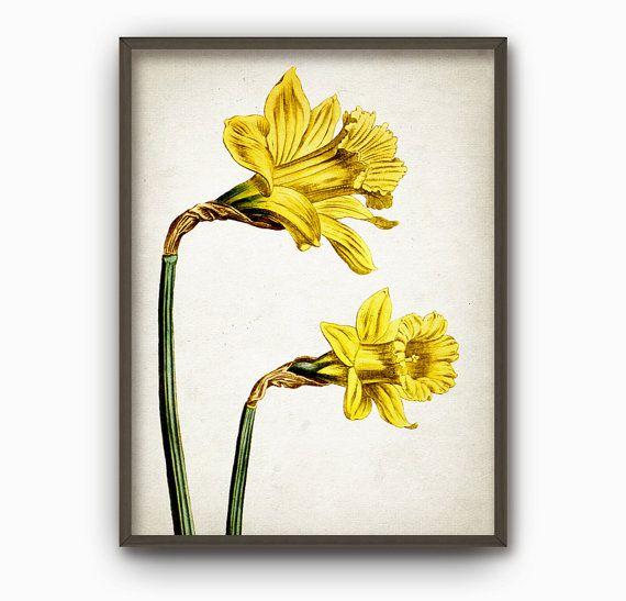 Antique Botanical Flowers Art Print - Vintage Botanical Home Decor - Antique Book Plate Illustration - Daffodil Flower Picture (B173)