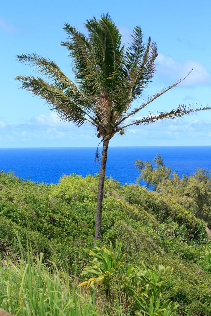 best 25 coconut palm tree ideas on pinterest palm tree island palm tree pics and palm trees. Black Bedroom Furniture Sets. Home Design Ideas