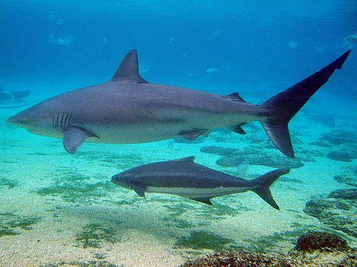 Schützen Dusky Shark von Extinction