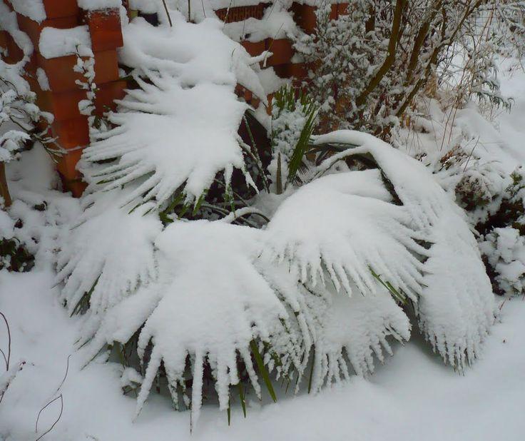 Trachicarpus takil